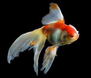 Fantail Goldfish ka scientific naam kya hai