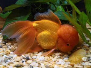 Oranda सुनहरी मछली ka scientific naam kya hai