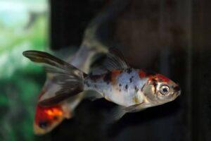 Shubunkin Goldfish ka scientific naam kya hai